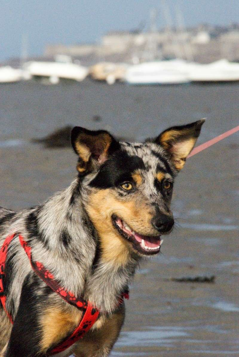 LUCY - Xberger australien/pinsher - puce : 941000012398470 -2 ans (35) Lucy1110