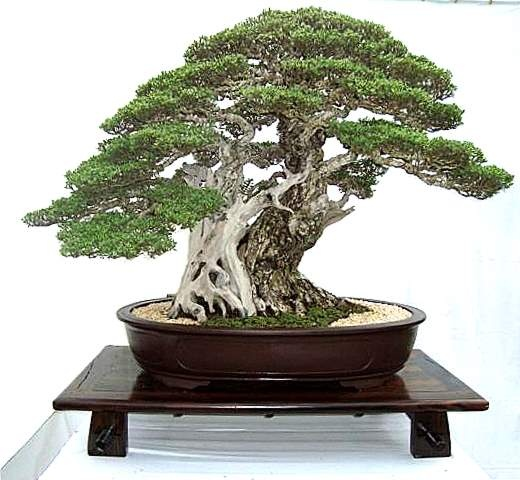 The tree named KING Bonsai12