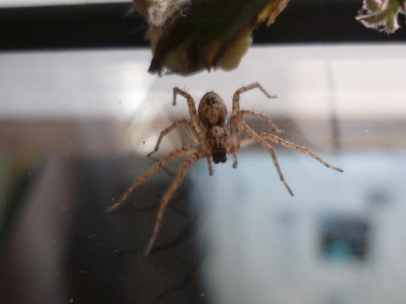 identification petite arachnide P1030911