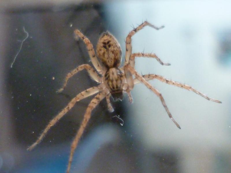 identification petite arachnide P1030912