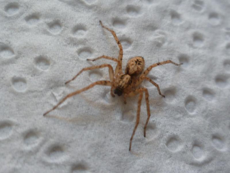 identification petite arachnide P1030913