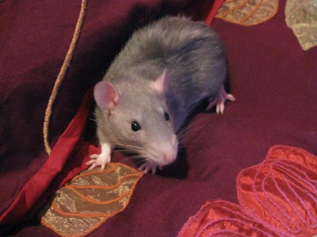 2 soeurs rattes à vendre! Img_0510