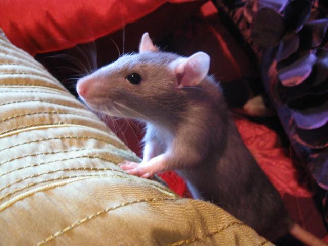 2 soeurs rattes à vendre! Img_0511