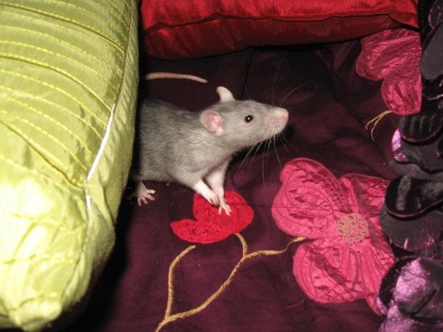 2 soeurs rattes à vendre! Img_0513