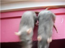 2 soeurs rattes à vendre! Rat310