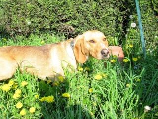 BALTO, croisé beagle mâle, 1 an (59) Img_0811