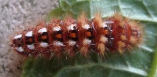 Les chenilles deviendront des papillons ... Chenil11