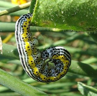 Les chenilles deviendront des papillons ... Dsc00014