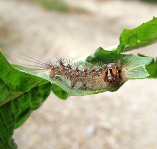 Les chenilles deviendront des papillons ... Dsc00316
