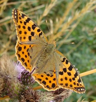 Papillons Dsc00612