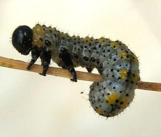 Les chenilles deviendront des papillons ... Dsc00711