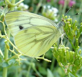 Papillons Dsc00718