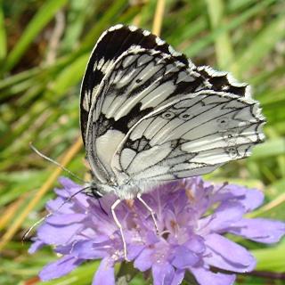Papillons Dsc00812