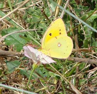 Papillons Dsc00814