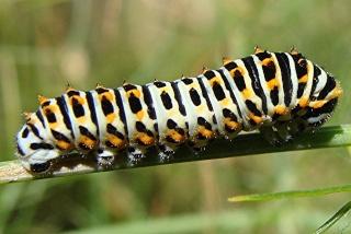 Les chenilles deviendront des papillons ... Dsc00911
