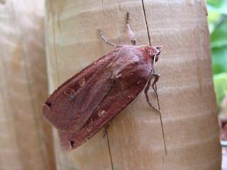 Papillons un peu plus insolites Dsc01311