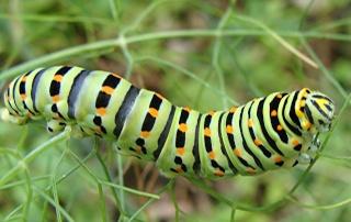 Les chenilles deviendront des papillons ... Dsc01410