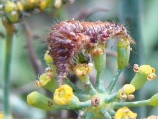 Les chenilles deviendront des papillons ... Dsc01811