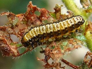 Les chenilles deviendront des papillons ... Dsc03417