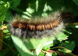 Les chenilles deviendront des papillons ... Dsc03810