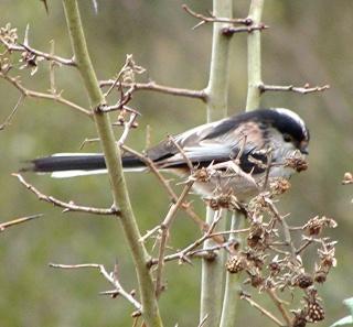 Les oiseaux du jardin (28 espèces d'oiseaux observées pour vous) Dsc05310