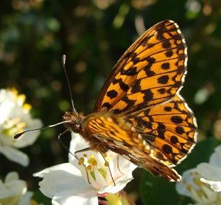 Papillons Dsc06211