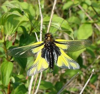 Papillons un peu plus insolites Dsc06913