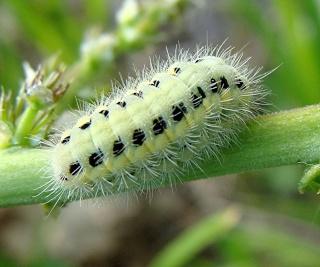 Les chenilles deviendront des papillons ... Dsc06914