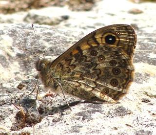 Papillons Dsc06915