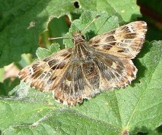Papillons un peu plus insolites Dsc07011