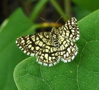 Papillons un peu plus insolites Dsc07012