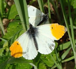 Papillons Dsc07013