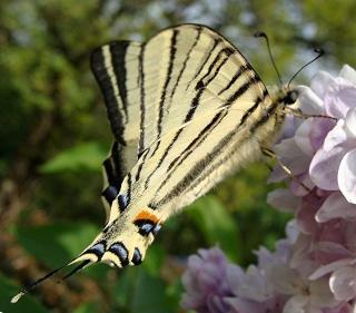 Papillons Dsc07014