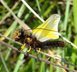 Papillons un peu plus insolites Dsc07411