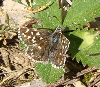 Papillons Dsc07617