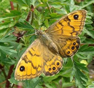 Papillons Dsc07712