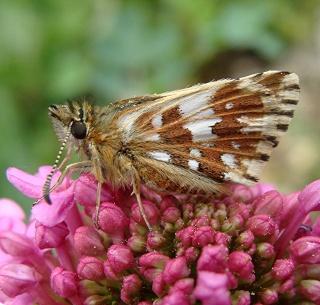 Papillons Dsc07814