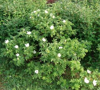 Rosiers buissons Dsc08021