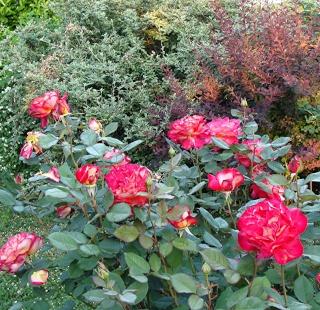 Rosiers buissons Dsc08022