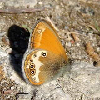 Papillons un peu plus insolites Dsc08413