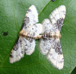 Papillons un peu plus insolites Dsc08610