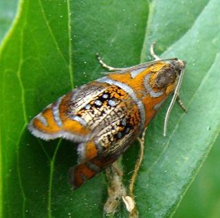 Papillons un peu plus insolites Dsc08611