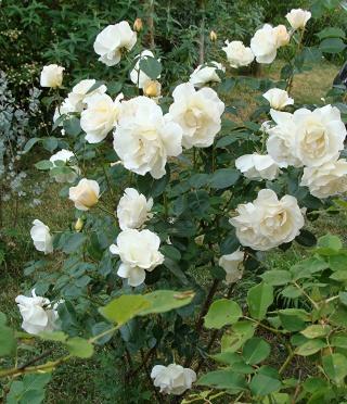 Rosiers buissons Dsc08614