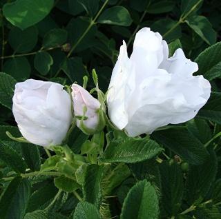 Rosiers buissons Dsc08712