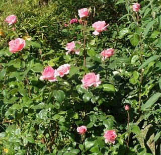 Rosiers buissons Dsc08818