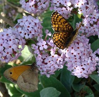 Papillons un peu plus insolites Dsc08911