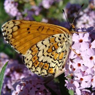 Papillons un peu plus insolites Dsc08915