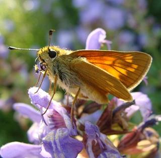 Papillons Dsc09010