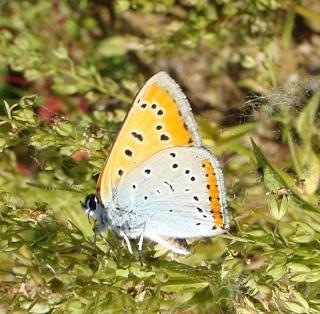 Papillons Dsc09314