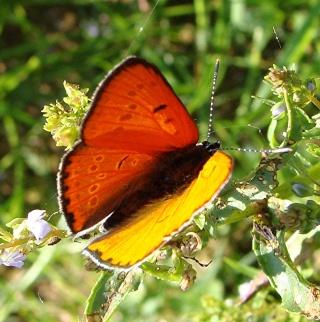 Papillons Dsc09315